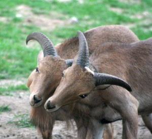 Locking horns... Image credit: Carolyne Pehora | Dreamstime Stock Photos